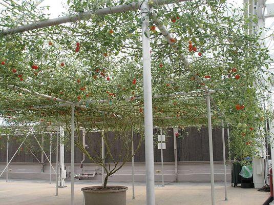 largest tomato plant